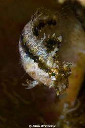 Highfin sabertooth blenny - mid turn by Adam Skrzypczyk 